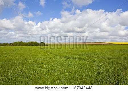 Copse And Wheat Field