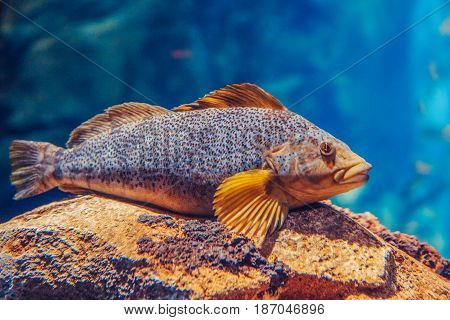 One red yellow large fish in blue water colorful underwater world copyspace for text background wallpaper