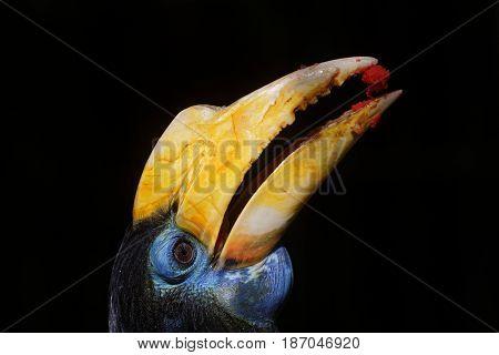 The yellow beak of a wrinkled hornbill