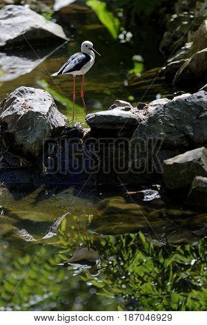 A black-winged stilt reflets on the river