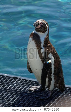 An african penguin on the shore of a pool
