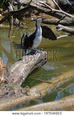 Little pied cormorant on a piece of wood