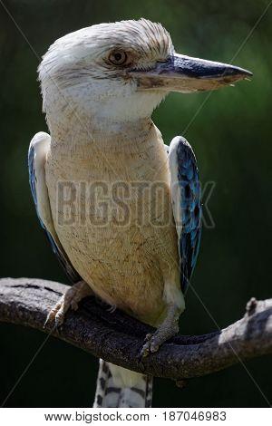 A blue winged kookaburra on its branch