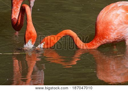 Caribbean Flamingo necks, while they look for their dinner