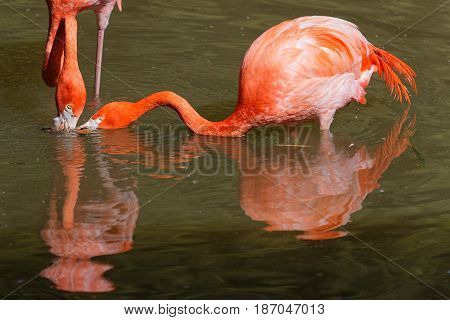 Two caribbean Flamingos looking for their food in the waters