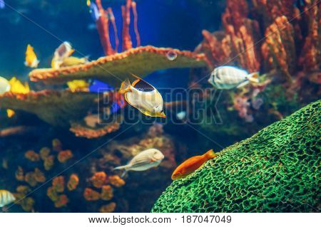 Shoal group of many red yellow tropical fishes in blue water with coral reef colorful underwater world copyspace for text background wallpaper