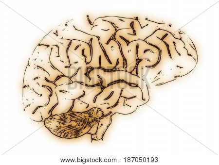 Illustration of a human brain on a white background.