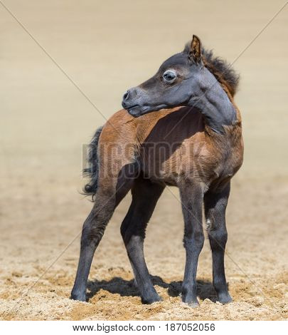 American miniature bay foal stands on sand and turned its head away. Vertical composition.