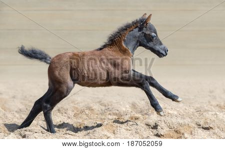American miniature horse. Graceful and elegant bay foal is one month of birth. Mare in motion. Side view.