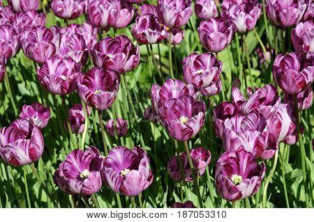 Tulips of Colombina variety in the Royal Keukenhof Park