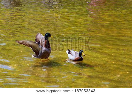 Lovely Duck Swimming. Nature Lake Background.