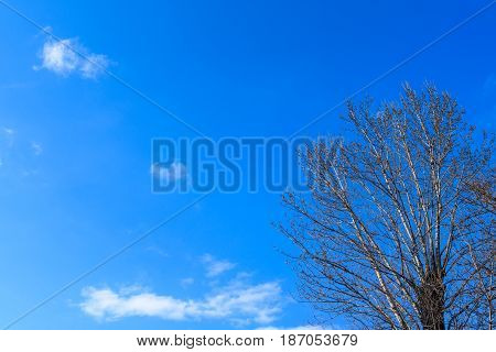 Poplar with swelling buds on branches against a piercing blue sky