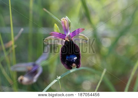 A flower of Bertolonis Bee Orchid (Ophrys bertolonii) a wild orchid in the Mediterranean region.