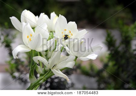 Beautiful White Lilies With Focus On Yellow Stamens