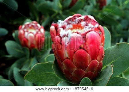 Striking Red Bulbous Flower With White Furry Tufts And Succulent Leaves
