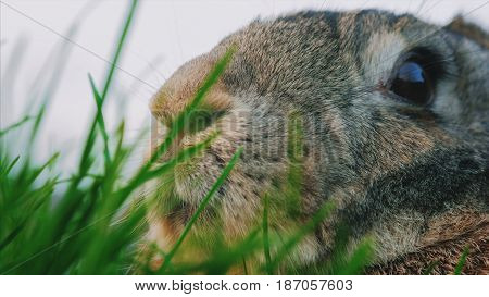Serious, concentrated cottontail bunny rabbit in the green grass in the field, meadow. Wildlife, closeup. After the rain.