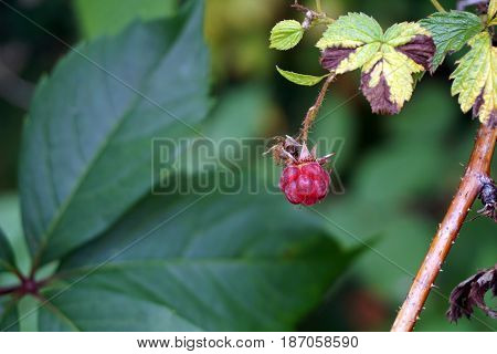 The fruit of a wild American red raspberry (Rubus strigosus) in the Spring Lake Park, between Harbor Springs and Petoskey, Michigan, during August.
