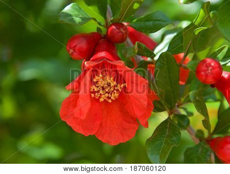 One pomegranate flower with small pomegranates forming on the branch. Pomegranate is a popular fruit whose juice contains high levels of antioxidants.