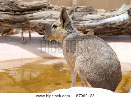 One Patagonian Cavy (Dolichotis patagonum) is a relatively large rodent. Drinking from a pond profile view from behind.