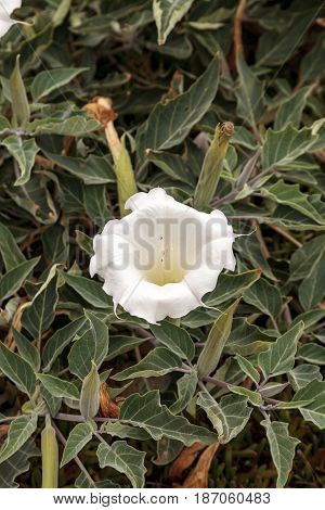 White Devils Trumpet Flower, Datura Stramonium