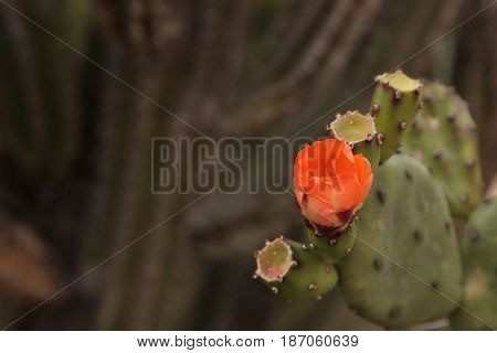 Orange flower on Prickly pear cactus Opuntia blooms in the Sonoran Desert Arizona on a green background