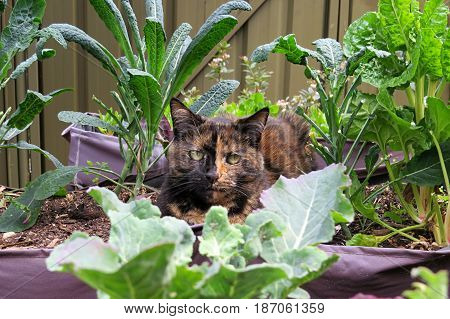Cat among the spinach kitty sleeps in vegetable garden patch