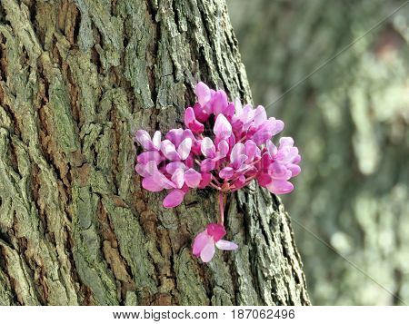 Redbud Tree flower in Thornhill Canada May 18 2017