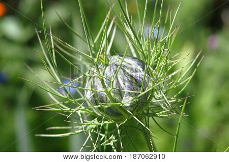 Love-in-a-mist Nigella blue flower bud growing in garden