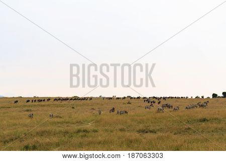 Portrait of great migration in Kenya, Africa