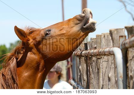 young horse smiling in pasture baby colt