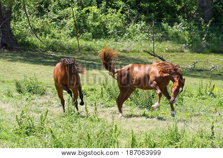 playful filly fillies in pasture young horse