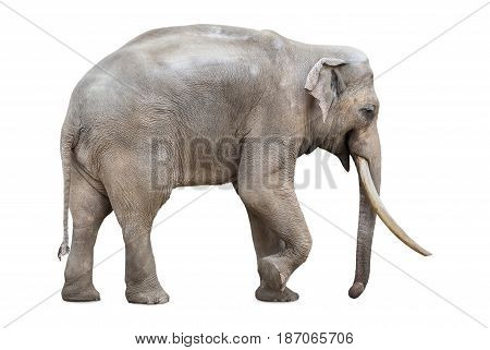 Asiatic elephant with huge tusks on white background