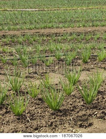 Rows upon rows of growing shallots on a farm.
