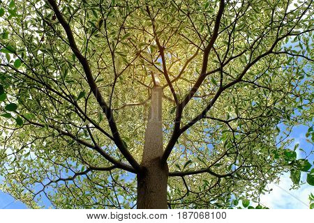 Looking-up into a Tree Canopy in Spring.