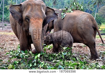 A family of elephants walks with a small elephant and feeds it