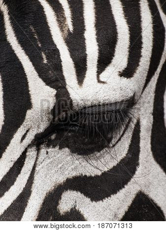 Close up shot of an eye of a zebra muted color style