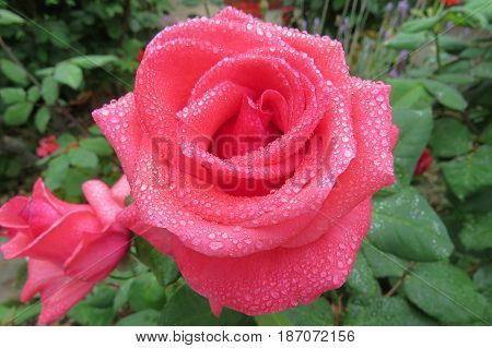 Raindrops on roses Rose flower pink growing in garden covered in rain drops