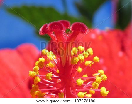 Hibiscus Mallow Malvaceae subtropical and showy red flower in bloom