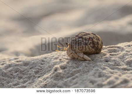Small hermit crab on the tropical island sand. Copy space close up; Hermit crab on tropical beach