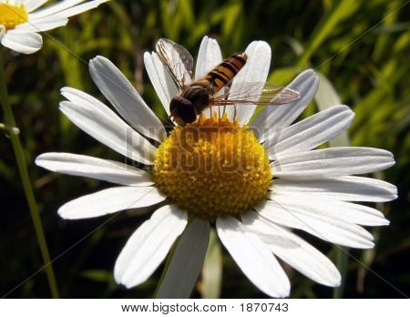 Bee On Clerical Collar Oxeye Daisy4