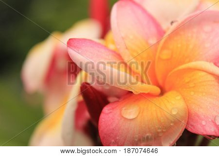Plumeria alba flowers isolated on blur and gress background. frangipani flower