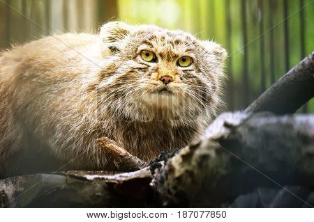 Manul Is A Predatory Mammal Of The Cat Family.