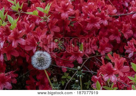 Closeup of a white dandelion in front of a bunch of red flowers and green plants