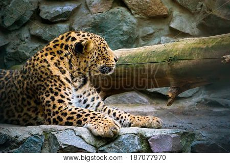 Leopard On The Rock.
