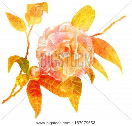 A vintage style hand drawn watercolor of a camellia branch with a blossoming flower, new buds and leaves, on white background, golden toned