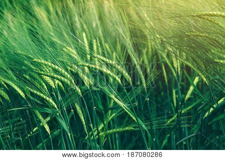 Green wheat cereal crops growing in cultivated field plants swaying in the wind