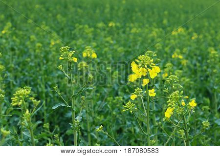 Flowering rape - field of industrial plant