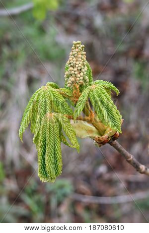 Detail of the sprouting bud of chestnut - detail