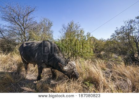 African buffaloin Kruger national park, South Africa ; Specie Syncerus caffer family of bovidae