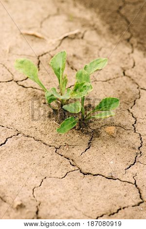 Young sugar beet plant in field dry land with cracks